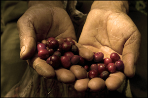 ospina_coffee_cherries.jpg